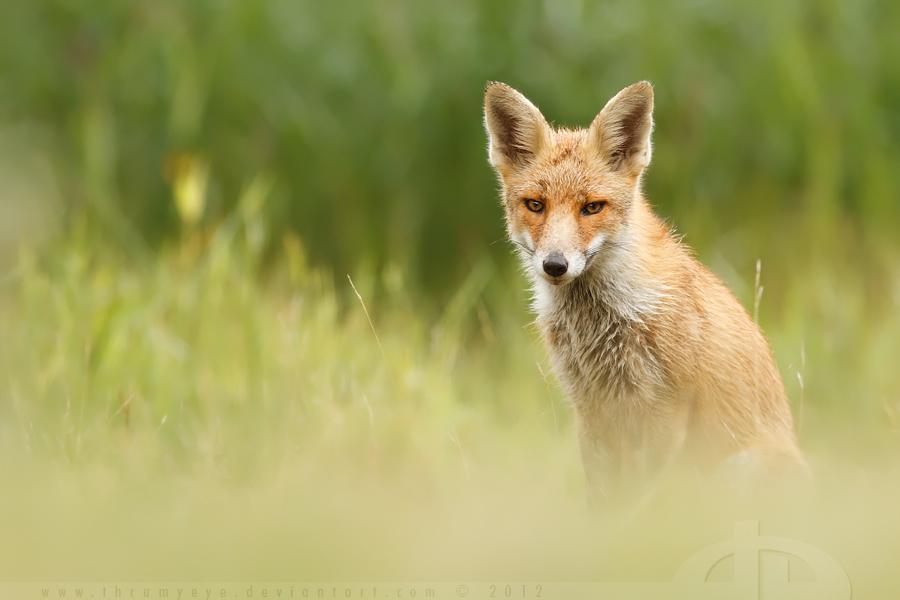 SummerFox by thrumyeye