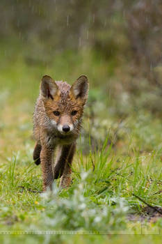 Soaked Little Fox