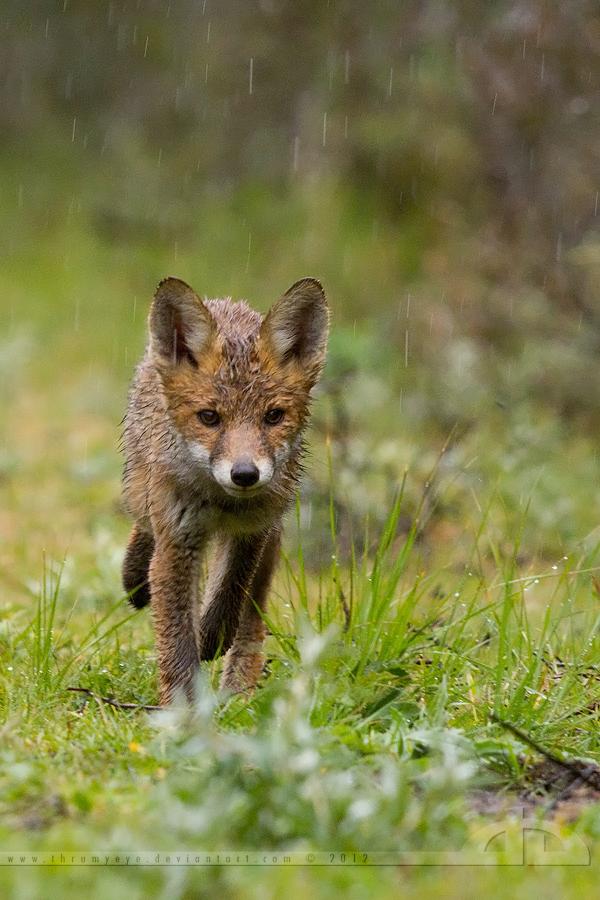 Soaked Little Fox by thrumyeye