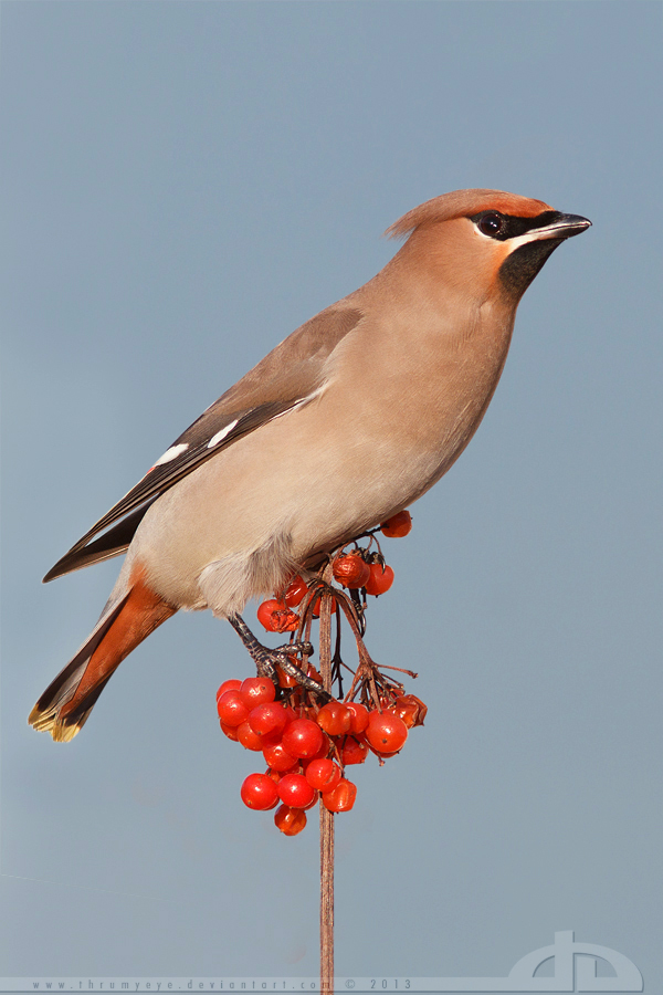 Waxwing on a Stick by thrumyeye