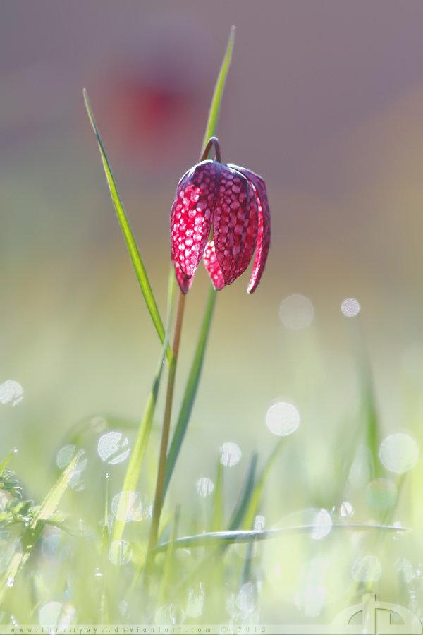 Chess Flower: Harbinger of Spring by thrumyeye