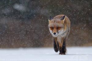 Fox in heavy weather