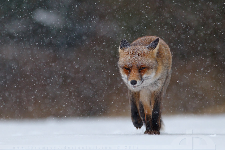 Fox in heavy weather by ~thrumyeye