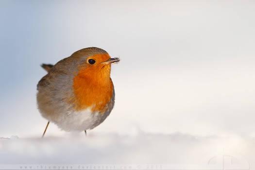 Robin in a white world