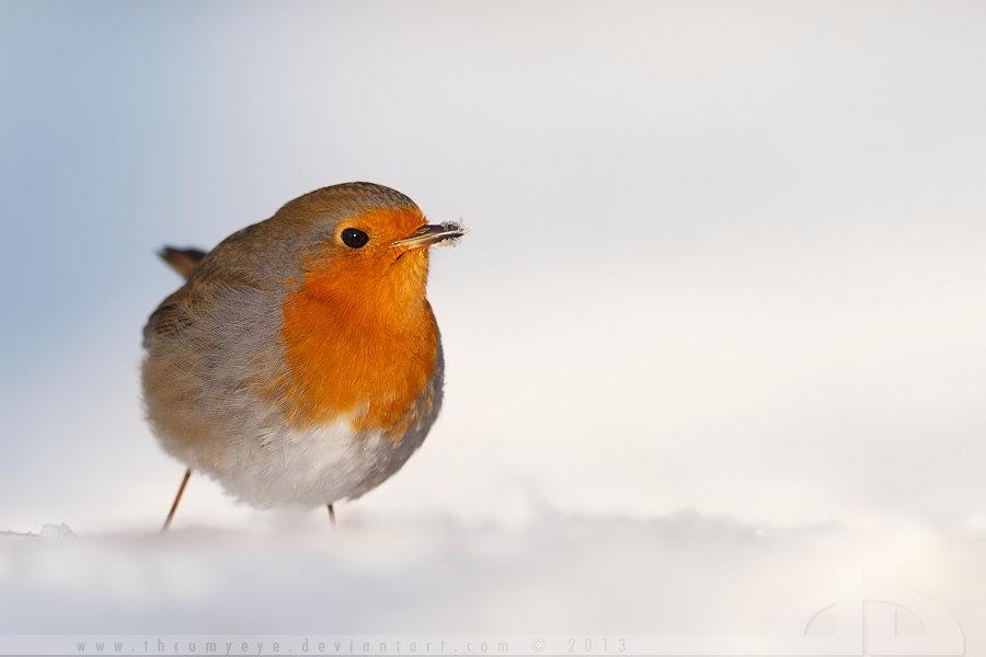 Robin in a white world by thrumyeye