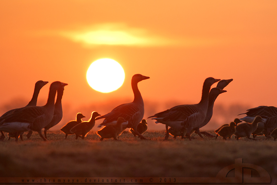 Early Morning Gosling March by thrumyeye