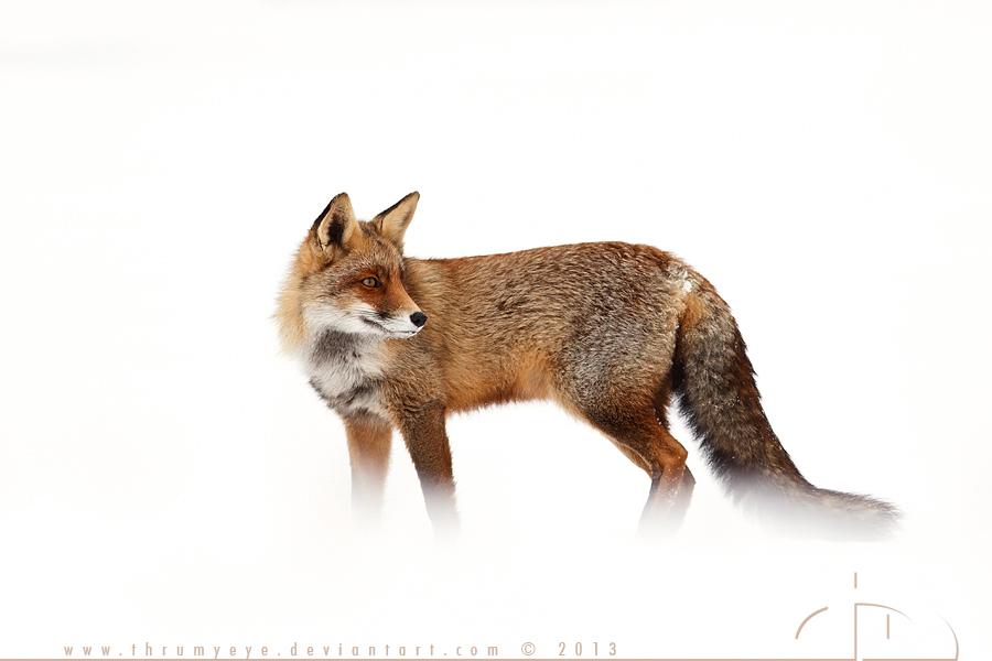 Red Fox, White World by thrumyeye