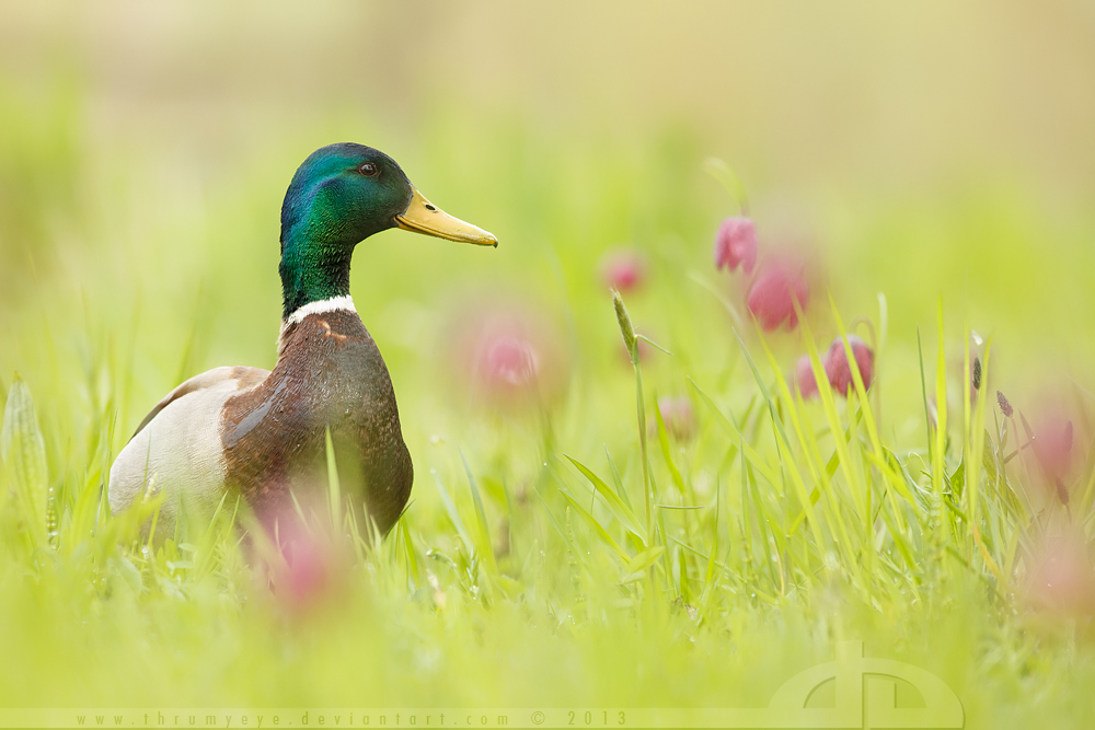 Romantic Mallard by thrumyeye