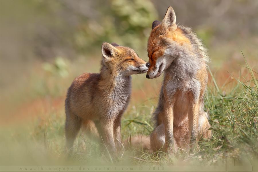 Fox Felicity by thrumyeye