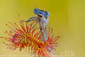 The Sundew and the Damselfly by thrumyeye