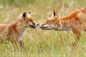 Fox Kit and mother by thrumyeye