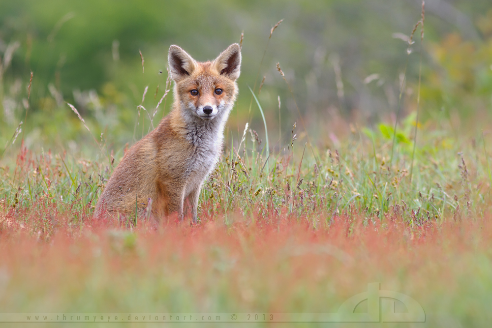 Cute Fox Kit in a Sorrel Field by thrumyeye