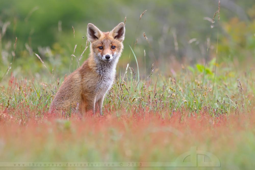 Cute Fox Kit in a Sorrel Field by thrumyeye