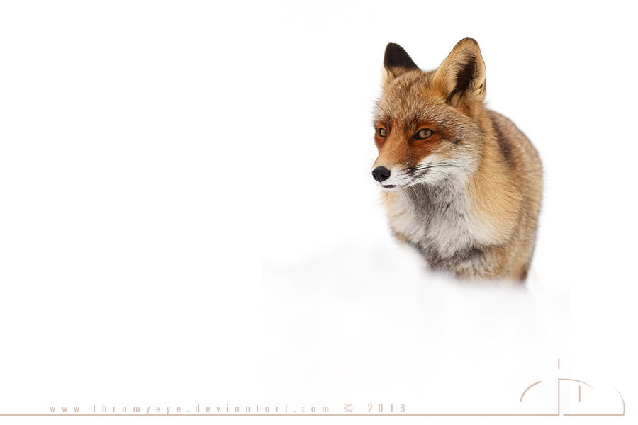 Fox in the Snow by thrumyeye