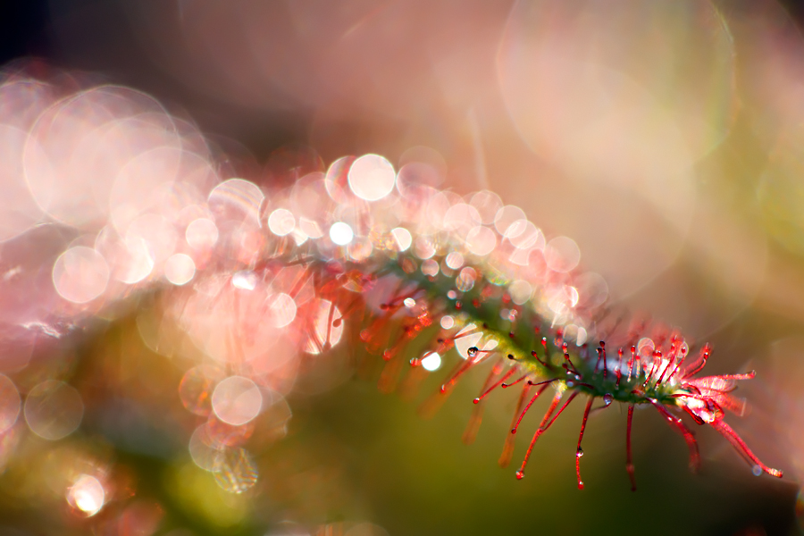 Drosera by thrumyeye