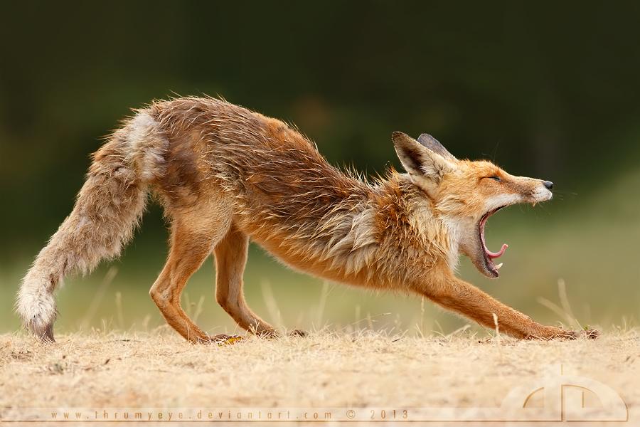 Lazy fox by thrumyeye