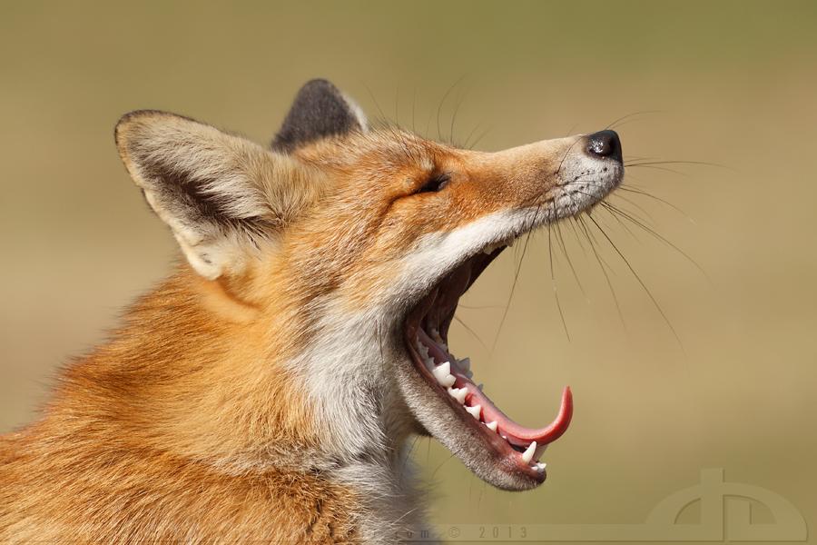 Yawning Fox by thrumyeye