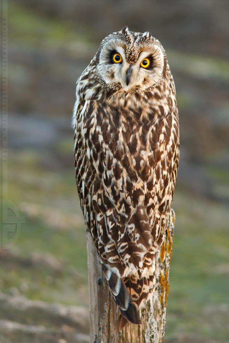 What Owl, where? by thrumyeye