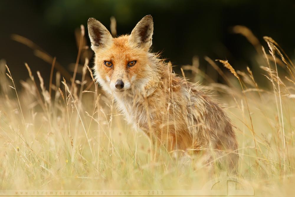Summer Fox by thrumyeye