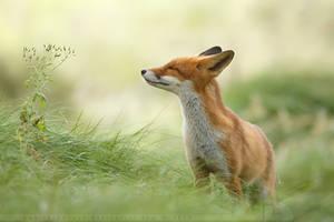 Zen Fox II by thrumyeye