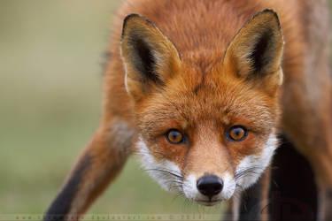 Scaredy Fox by thrumyeye