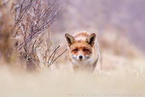 Red fox and Purple  Pastels by thrumyeye