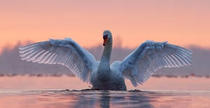 Swandance by thrumyeye