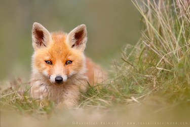 Cute Fox Kit by thrumyeye