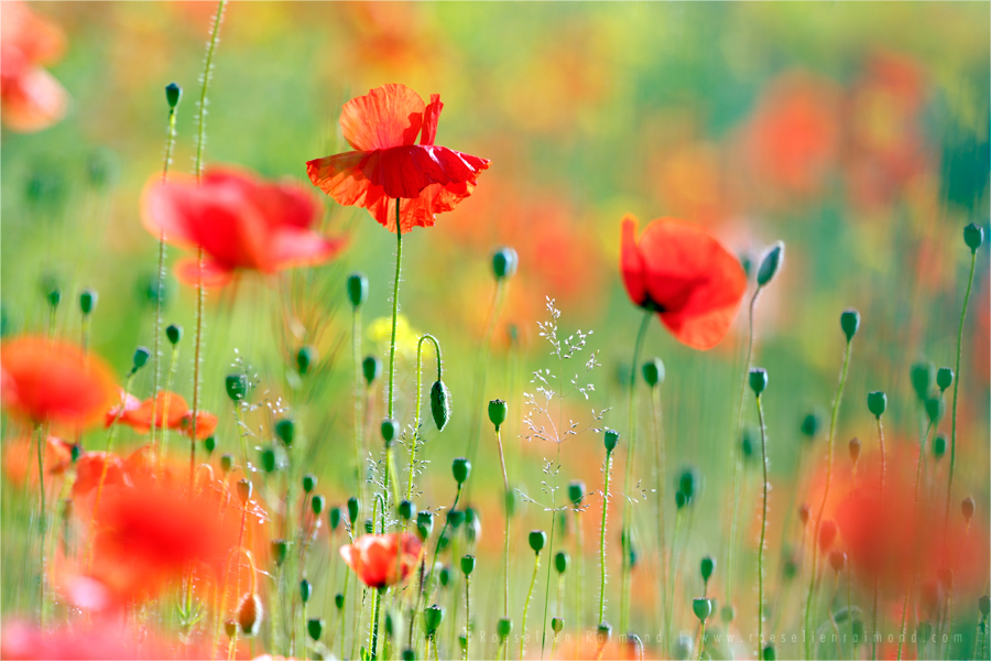 Poppies by thrumyeye