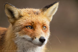 That Foxy Face by thrumyeye