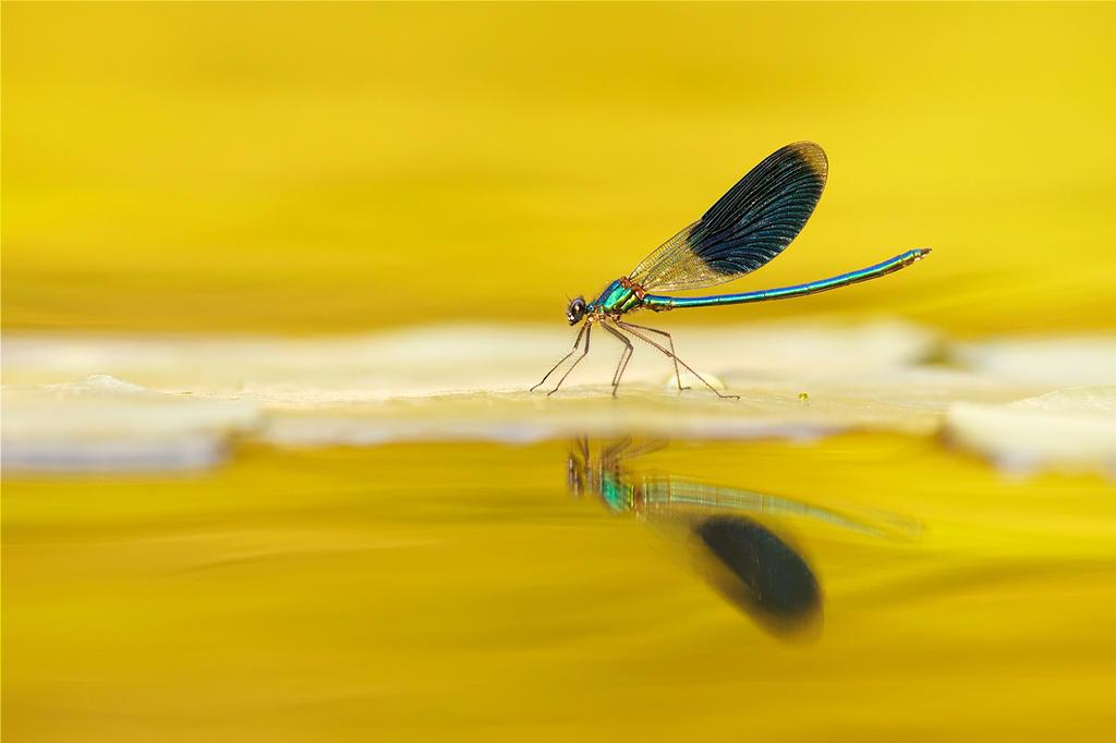 Banded Demoiselle  in Gold by thrumyeye