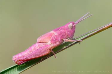 The Pink Grasshopper II