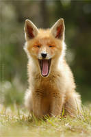 Yawning Fox Kit by thrumyeye