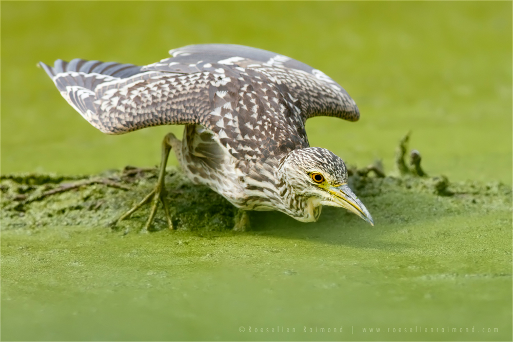 Natural Born Killer .:. Night Heron by thrumyeye