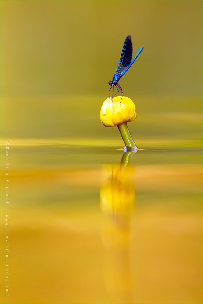 Empty Spaces III .:. Banded Demoiselle by thrumyeye