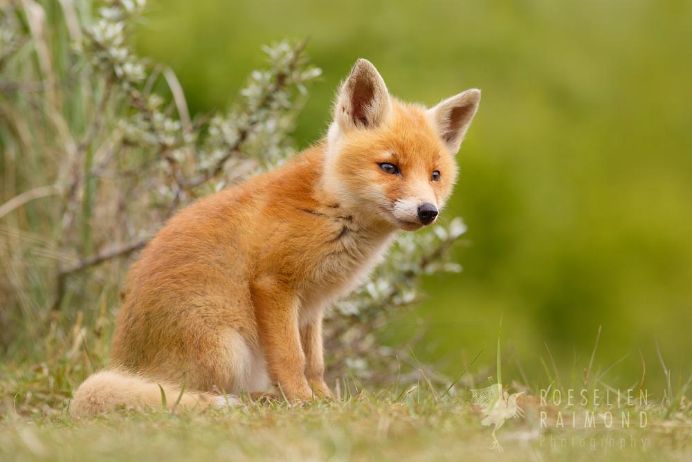 cute fox cub animal baby cub cute fox foxkit kit nature photography    Cute Fox Cubs