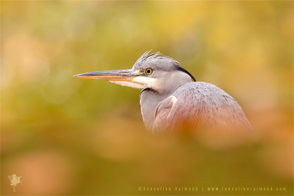 Blue Heron in Autumn Colours by thrumyeye