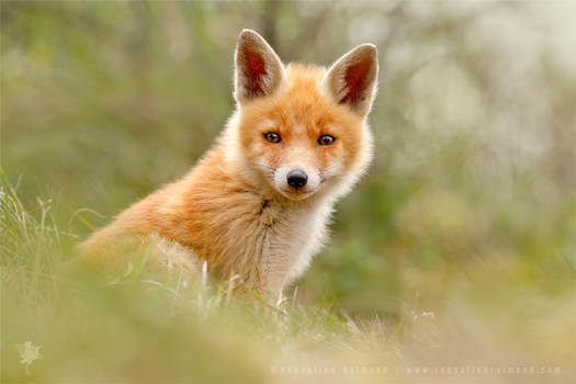The Face of Innocence ... Red Fox Kit