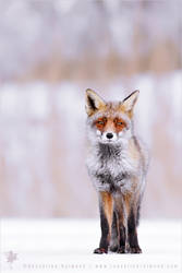 Earth Calling Fox :D - Dreamy Fox in a Winterscape