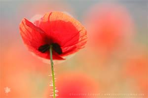 Poppy Dream by thrumyeye
