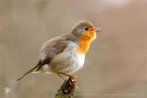 Robin by thrumyeye