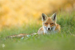 Red Fox Blending in by thrumyeye