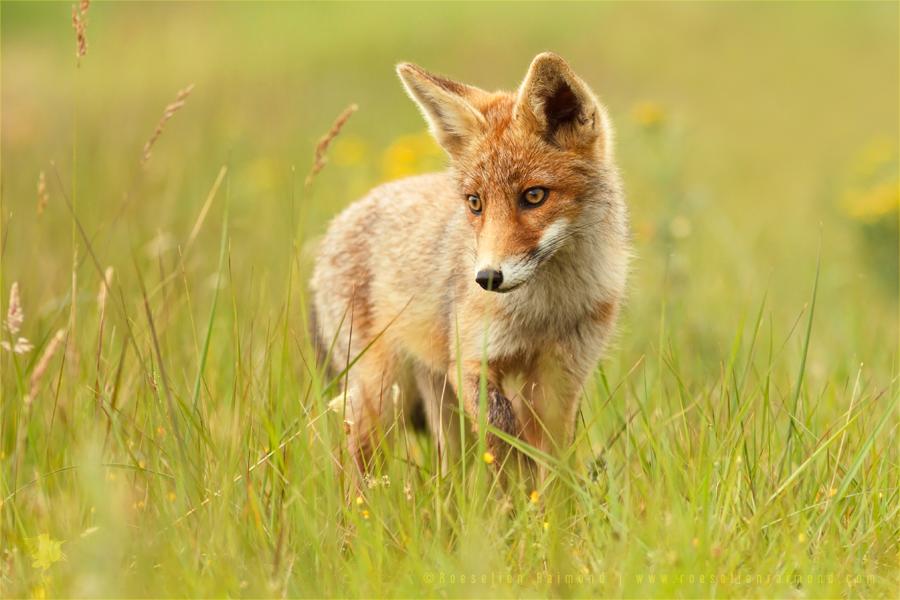 Lil' Hunter - Red Fox Cub by thrumyeye