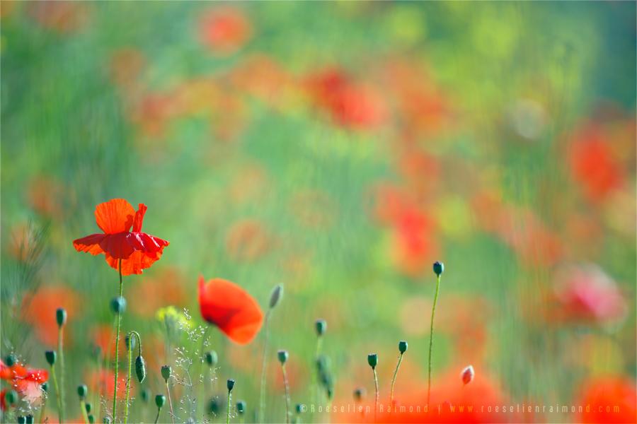 Poppy Party by thrumyeye