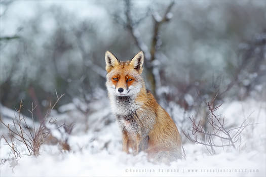 Red Fox, Blue World