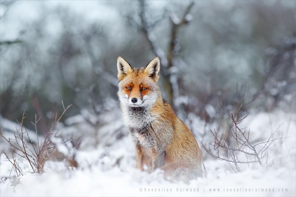 Red Fox, Blue World by thrumyeye