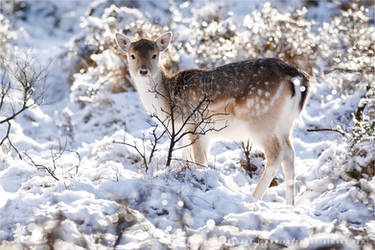Fallow Deer in Snow World