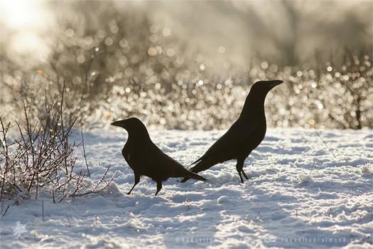 SnowCrows