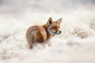 Red Fox on a White Cloud by thrumyeye