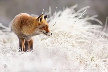 Fox in the Snow by thrumyeye